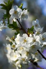 where are all the bees? (86/365) (werewegian) Tags: spring blossom cowcaddens matrix sunlight evening werewegian mar19 365the2019edition 3652019 day86365 27mar19