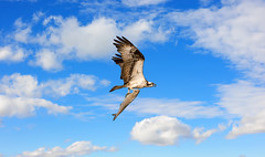 Osprey flying with a large fish in talons in the clouds (alaskanhorizons) Tags: osprey bird animal hawk fishhawk raptor predator birdofprey wildlife flying soaring talons wings carrying clutching holding grasping fish prey nature sky clouds cloudy success victorious ecstatic content survival blue fishing powerful independent bold fearless intrepid