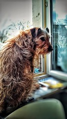 Lotoffur (morosus) Tags: morcsos jagdterriermix terrierlife terrier ablak window outdoor sky blurred snapseed hunger budapestbudapest buda budapestdogs canine dog mixeddogs doggo hund hungary