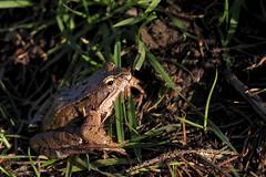 Erdkröte / Common toad (Bufo bufo) (uwe125) Tags: toad common animal erdkröte kröte amphibien tier