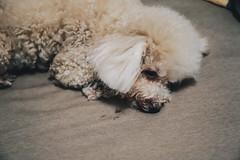 _MG_3033 (waychen_c) Tags: taiwan newtaipei newtaipeicity luzhou luzhoudistrict dog poodle caniche 台灣 新北 新北市 蘆洲 蘆洲區 狗 犬 貴賓犬 紅貴賓 イヌ 妞妞 cebutour2019 2019宿霧旅行