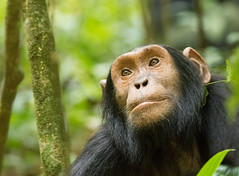 Feelings...... Chimpanzee (Pan troglodytes) (piazzi1969) Tags: elements chimpanzee pantroglodytes chimp nature canon eos 7d markii ef100400mm uganda kabale africa afrika primates sadness hope wildlife tiere affen apes monkeys feelings fauna mammals