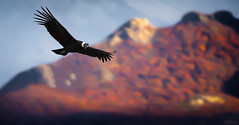 Soaring (Jeff Stamer (Firefallphotography.com)) Tags: argentina elchalten firefallphotography firefallphotographycom jeffstamer losglaciaresnationalpark mountfitzroy patagonia places southamerica 2018 andeancondor