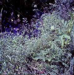 Myosotis scorpioides  L. Sumpf-Vergissmeinnicht true forget-me-not, water forget-me-not (Spiranthes2013) Tags: deutschland diaarchiv diascan scan 6x6dia 6x6 kfwolfstetter becker bayern bavaria lowerfranconia unterfranken lkmiltenberg germany 1991 myosotisscorpioidesl sumpfvergissmeinnicht trueforgetmenot waterforgetmenot myosotisscorpioides vergissmeinnicht forgetmenot myosotis plant pflanze pflanzendias plantae angiosperms angiospermen eudicots eudicosiden asteriden asterids boraginoideae boraginales euasteriden euasterids rauhblattgewächse borages myosotideae wasser water sumpf swamp wet nass 6x6dias