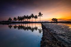 - Sunrise of Tanjung Putus - (Md Farhan's Gallery) Tags: sunrise malaysia nationalgeographic nature reflection fujifilm fujinon xf1024mm xt1 cloud ray sky paddy paddyfield panorama