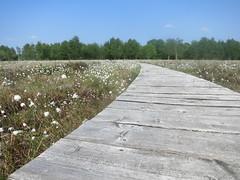 walkway (Filips Foto Hjørne) Tags: spring forår kæruld pit bog mose cottongrass planker planks sti