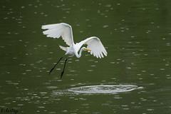 Permission to Land (TattooIND) Tags: bif bird wildlife river sony a9 100400