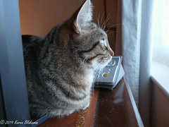 Willow watches the birds (karenblakeman) Tags: cat tabby willow willowmeowmau january 2019 2019pad uk