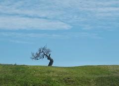 Sobreviviente (carlos_ar2000) Tags: campo field arbol tree surreal paisaje landscape naturaleza nature cabopolonio rocha uruguay