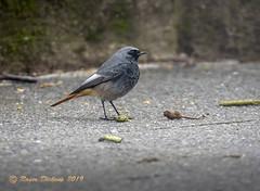 Black Redstart 09 (Roger Dickens) Tags: blackredstart phoenicurusochruros urbanbird southbirmingham pentaxda150400 pentaxk3