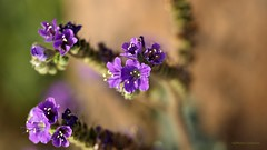 Pretty Purple Petals (VGPhotoz) Tags: vgphotoz scorpionweed weed purple arizona usa nature naturephotography flower plants macro olympus em1markii m40150mm f28 ƒ35 1500 mm 1400 200 january 2019 petals artisiticpics macrophotography flickr funpics phoenix
