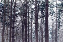Nulbos (Jos Mecklenfeld) Tags: winter snow schnee sneeuw forest wald bos nature natur natuur nulbos westerwolde sonya6000 sonyilce6000 selp1650 sonyepz1650mm niederlande nederland terapel groningen netherlands nl