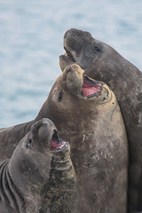 The Beach Boys (Tim Melling) Tags: southern elephant seal mirounga leonina south georgia sparring fighting young males timmelling