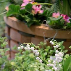110. Lily of the valley (Misty Garrick) Tags: arboretum universityofminnesotalandscapearboretum landscapearboretum flowershow