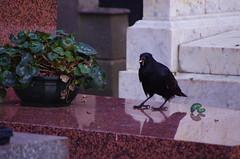 134 - Paris - Février 2019 - cimetière de Montmartre (paspog) Tags: paris france corbeaux février february februar 2019 cemetery cimetière friedhof cimetièredemontmartre montmartre corbeau raven crow ravens crows