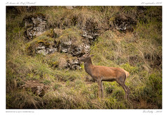 Le brame (BerColly) Tags: france auvergne cantal cerfs deer automne autumn rut brame daguet bercolly google flickr