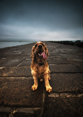 Happy Fudge (balb_kubrox) Tags: dawn poolbeg dublin cloud dog cocker spaniel sea sky english fudge