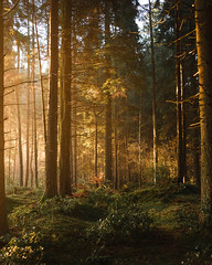 *** (Lee|Ratters) Tags: sony a7 voigtlander cv40 f12 somerset sunrise misty forest woodland eerie warmth sunlight