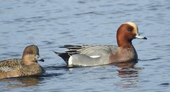 wigeon (BSCG (Badenoch and Strathspey Conservation Group)) Tags: moray bird sunshine march duck wi male drake