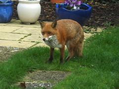fox (47604) Tags: fox vulpesvulpes redfox