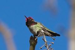 (JSB PHOTOGRAPHS) Tags: jsb8709 hummingbird bluesky nikon d7100 nikon200500mmafsgf56evr eugeneoregon deltaponds 200500mm