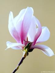 Magnolienblüte (im Studio) (Mike Reichardt) Tags: flower flowerpower farben blume blüte blossom macro makro minmal minimalism nahaufnahme natur nah nature unfolding garden garten