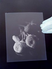 buttercups ranuncoli (photoni) Tags: img6013 buttercups ranuncoli fomapan tmax 20x25cm 8x10inch darlot petzval 11inch photoni