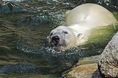 1991 Eisbären Zoo Berlin (rieblinga) Tags: berlin zoo eisbären 1991 wasser schwimmen analog canon eos 100 agfa ct100i diafilm west e6
