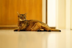 LizZie looking at you! 😉 (DizzieMizzieLizzie) Tags: posing floor wall wood 2019 gm 85mm f14 t animal dof bokeh golden classic pose a7iii ilce7m3 ilce fe chat gatos neko sony pisica meow kot katze katt gatto gato feline cat portrait dizziemizzielizzie lizzie aby abyssinian