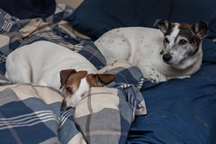 Dogs on a Bed (3) - 65/365 (prestonciere) Tags: 365the2019edition 3652019 day65365 06mar19