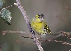 Siskin (Prank F) Tags: titchmarshlnr wildlifetrust northantsuk wildlife nature bird siskin