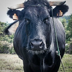 What are you thinking? (brookis-photography) Tags: bull bovine cattle sãomiguel azores animal