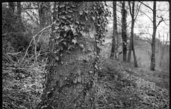 ivy-covered tree trunk, hillside, Hominy Creek River Park, Asheville, NC, FED 4, Industar 26, Arista.Edu 200, HC-110 developer, 3.26.19 (steve aimone) Tags: trees treetrunk ivy ivycovered hominycreekriverpark urbanpark asheville northcarolina fed4 industar2650mmf28 aristaedu200 hc110developer landscape 35mm 35mmfilm film blackandwhite monochrome monochromatic