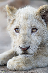 Looking at me... (Tambako the Jaguar) Tags: lion big wild cat white cub young baby cute close portrait face lying resting looking sad emotional bored lionsafaripark johannesburg southafrica nikon d850