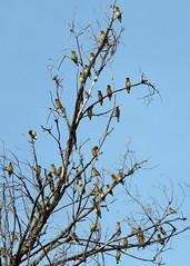 Cedar Waxwing Flock 2 (Kelly Preheim) Tags: cedar waxwings