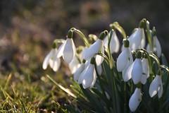 snowdrops (veebruar) Tags: snowdrops spring garden