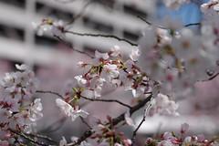 IMGP4429 (kirinoa) Tags: 神奈川県 横浜市 日ノ出町 黄金町 大岡川 桜