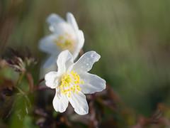 Anemone nemorose (de_frakke) Tags: flower bloem wi white bosanemoon anemone nature wood bos