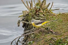 Grey wagtail (mikedoylepics) Tags: greywagtail birds british britishwildlife bird nikond4 nature nikon nikon200500mm sussex wildlife westsussex warnhamnaturereserve