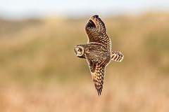 Short Eared Owl (Simon Stobart) Tags: short eared owl asio flammeus flying north east england uk