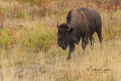 Bison (NikonDigifan) Tags: bison buffalo animal mammal nature naturephotography naturesfinest wildlife wildlifephotography montana nikon nikond500 nikon20050056 mikegassphotography