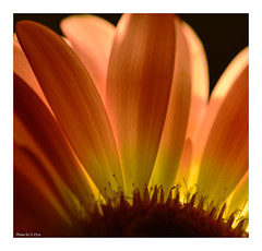 Rising up (Graham Pym On/Off) Tags: flower floral flora petals pollen nikon d7100 backlit macro colours orange yellow macroflowerlovers coth5