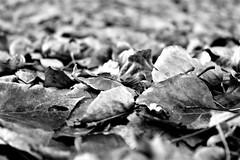 black (g.zoe) Tags: natureinfocusgroup nero e bianco blackwhite autunno campagna argine fiume
