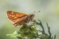 skipper butterfly (Bea Antoni) Tags: canon closeup makro macro sommer summer insect insekt wildlife nature natur falter dickkopffalter schmetterling butterfly skipper