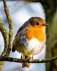 Robin in trees 3 (Johns 1st bestist photos) Tags: robin bird birds wildlife britishbirds wildlifephotography redbrest trees fujifilm xt1 longlens closeup perch beak lightanddark photo colour nature naturalworld