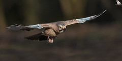Eurasian Jay In Flight (Mick Erwin) Tags: nikon afs 600mm f4e fl ed vr lens d850 mick erwin stoke trent staffordshire wildlife nature jays eurasianjay jaybird eurasian jay garrulus glandarius corvid bif flying inflight