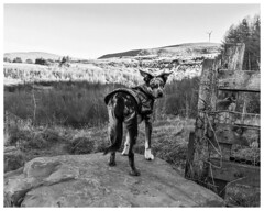 Fred (nickyt739) Tags: black white bw noir monochrome nikon dslr d5100 amateur animal landscape wales south united kingdom great britain dog planet mountains valley llynfi