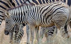 Streifensalat (AvesAg) Tags: tierpark tierparkberlin zoo berlin canon eosr eos r zebra foal fohlen chapmanzebra chapmansteppenzebra chapman steppenzebra equusquaggachapmani equus quagga equusquagga equusburchelliichapmani chapmanszebra