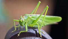 Grün / Green (schreibtnix on'n off) Tags: deutschland germany bergischgladbach natur nature tiere animals insekten insects grashüpfer grasshopper grünesheupferd tettigoniaviridissima nahaufnahme closeup grün green olympuse5 schreibtnix