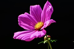 Cosmos (prokhorov.victor) Tags: цветок цветы растения флора сад природа лето макро